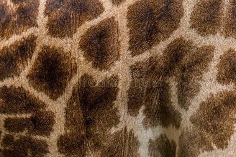 Imagen real de la textura de la piel de la jirafa para el fondo fotografía de archivo libre de regalías
