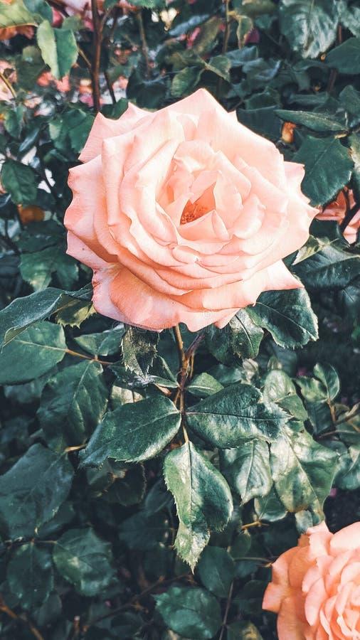 Imagen rosada del color anaranjado en el primero plano fotografía de archivo libre de regalías