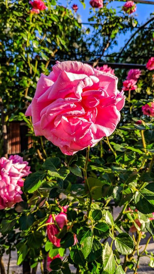 Imagen rosada en el primero plano imagen de archivo