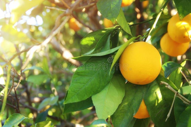 Imagen rural del paisaje de árboles anaranjados en la plantación de la fruta cítrica fotos de archivo