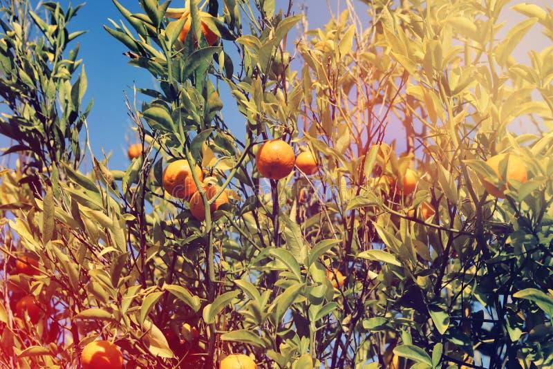 Imagen rural del paisaje de árboles anaranjados en la plantación de la fruta cítrica fotografía de archivo