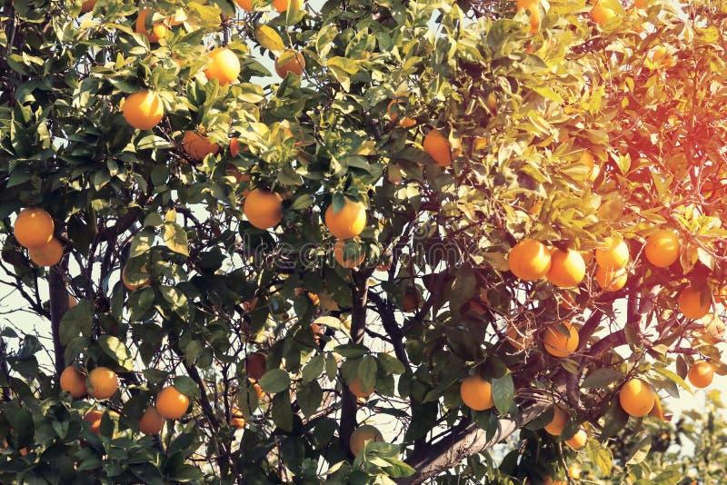 Imagen rural del paisaje de árboles anaranjados en la plantación de la fruta cítrica Vintage filtrado fotografía de archivo