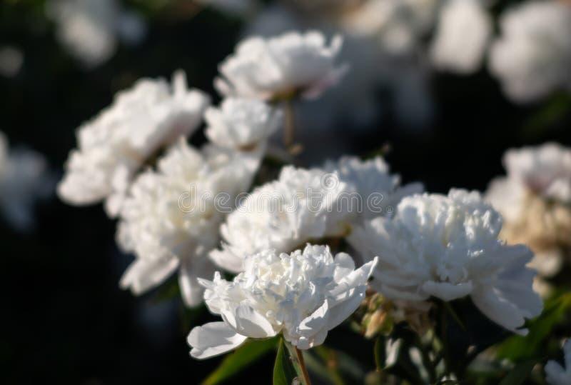 Imagen suave del foco de peonías blancas florecientes imagen de archivo libre de regalías