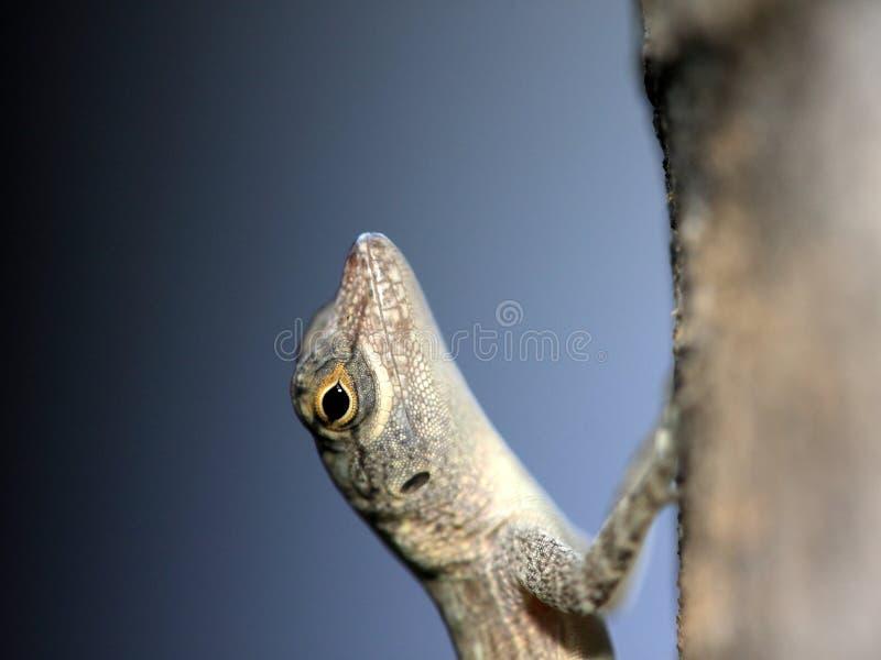 Imagen tropical de la macro del Gecko fotografía de archivo