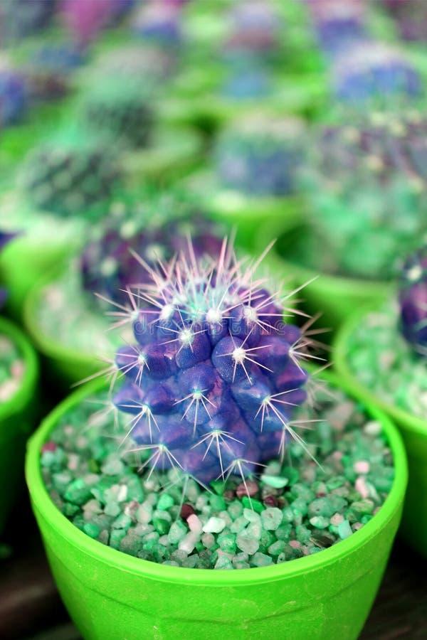 Imagen vertical de las mini plantas en conserva del cactus del primer en color vivo del verde y violeta imagen de archivo