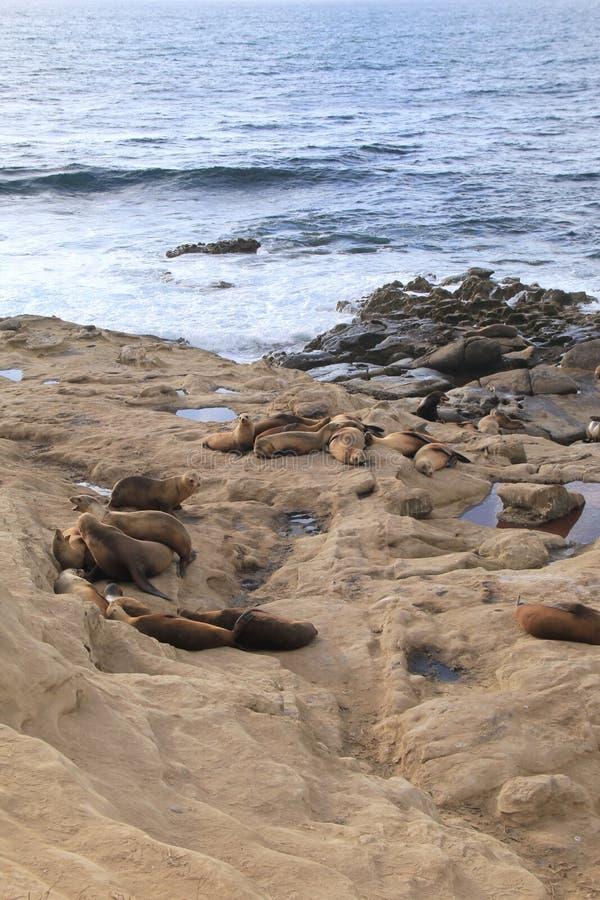 Imagen vertical de sellos y de leones marinos en la orilla rocosa del océano fotografía de archivo libre de regalías