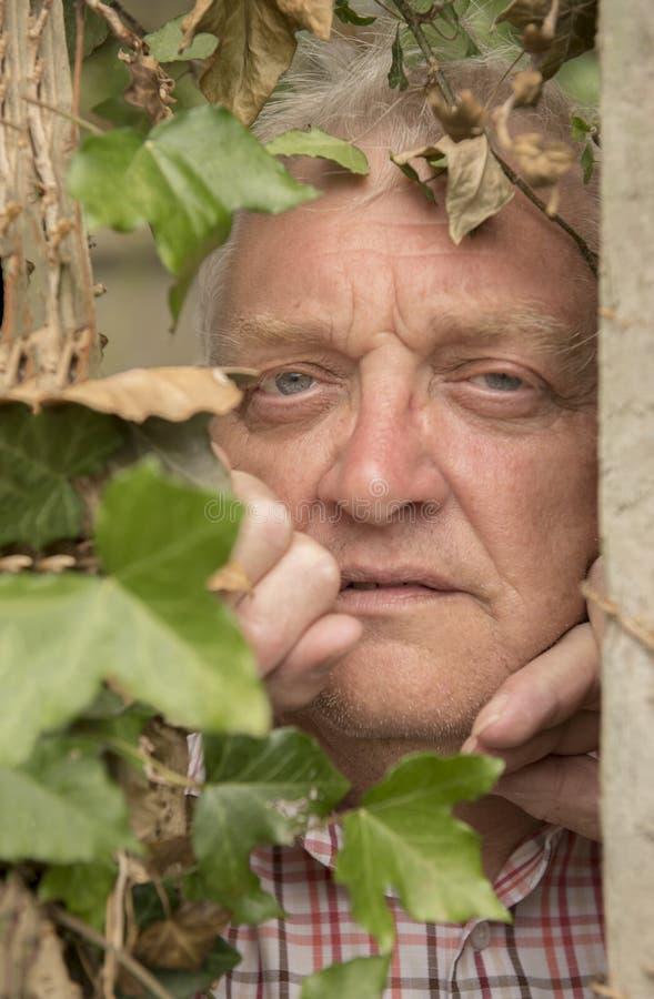 Imagen vertical de un hombre maduro que espía a través de una planta de la hiedra fotografía de archivo libre de regalías