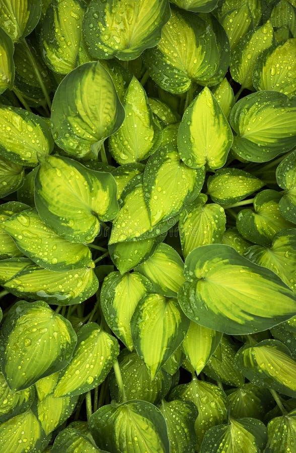 Imagen vertical de una planta del hosta del verde de dos tonos imagen de archivo libre de regalías