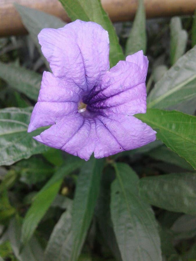 Imagen voilent única hermosa de la flor del color de las naturalezas fotografía de archivo libre de regalías