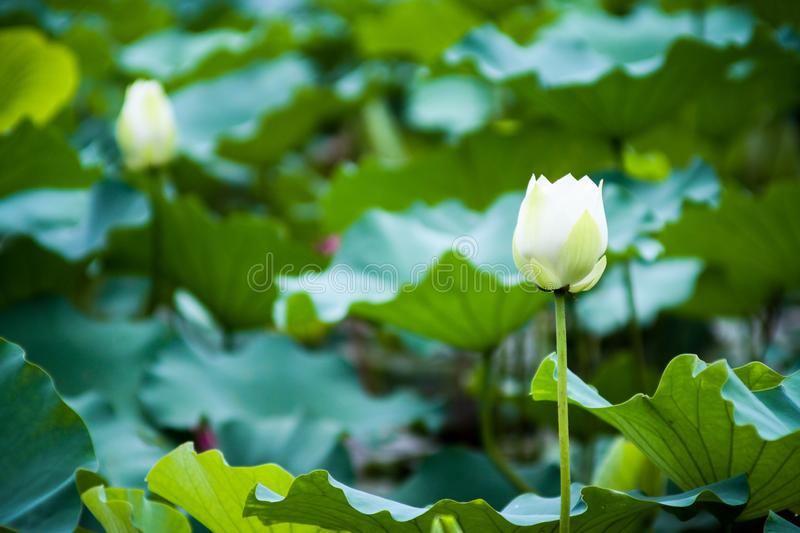 Imagens bonitas da flor de lótus brancos imagens de stock royalty free