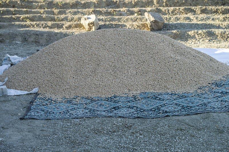 Imagens colhidas novas dos grãos-de-bico, produtos do grão-de-bico prontos para introduzir no mercado grãos-de-bico, imagens de stock