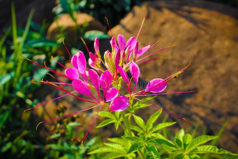 Imagens Tailândia da flor imagem de stock royalty free