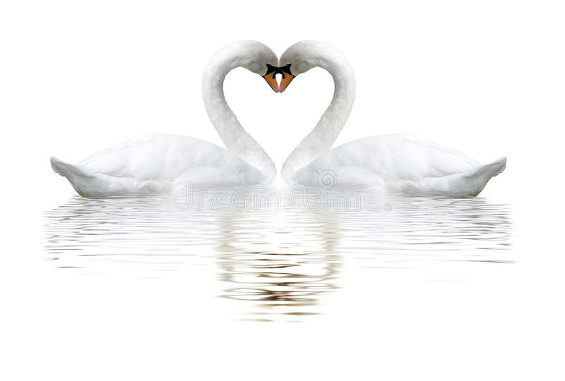 images of two swans on lake royalty free stock photo
