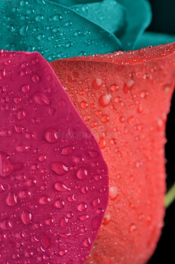Imagination Rose avec les pétales multicolores images libres de droits