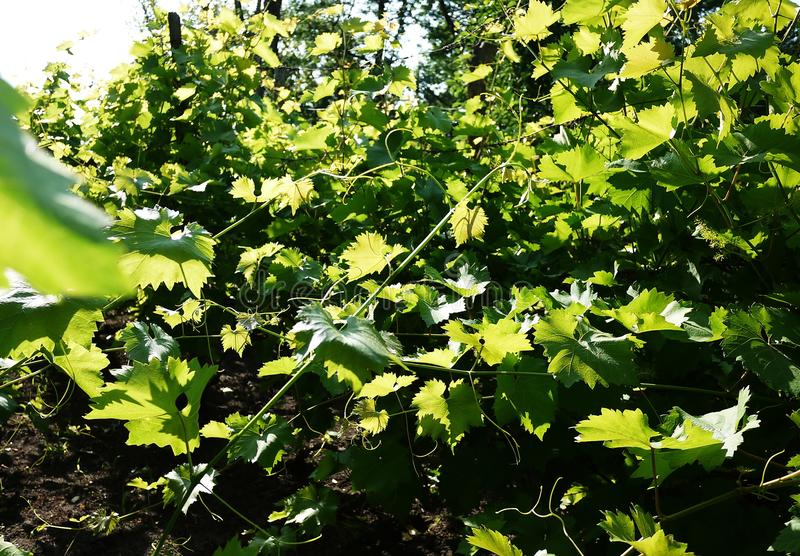 Plot for growing grapes. Sunlight illuminates the leaves. Details and close-up. stock photos