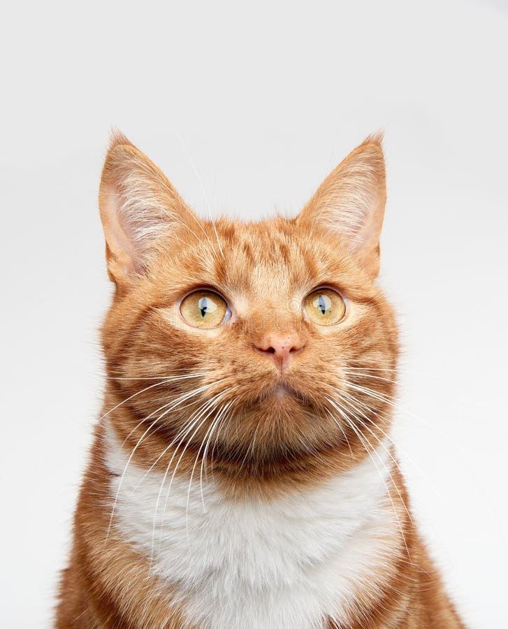 Imbirowa czerwona tabby kota głowa strzelał przyglądający up z kamery obrazy royalty free