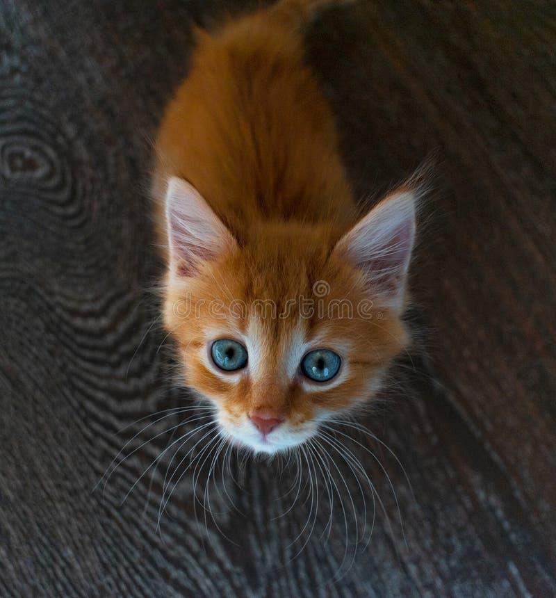 Imbirowa figlarka z niebieskimi oczami na drewnianym tle kot patrzeje kamerę od dołu do góry zdjęcia stock