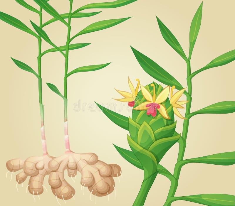 Imbirowa roślina również zwrócić corel ilustracji wektora ilustracja wektor