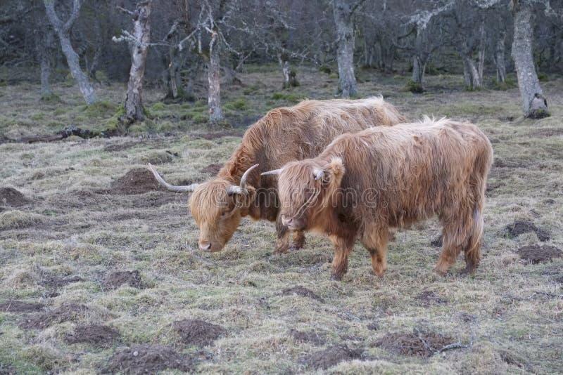 Imbirowe Szkockie średniogórze krowy z wielkimi rogami w dzikim naturalnym siedlisku fotografia stock