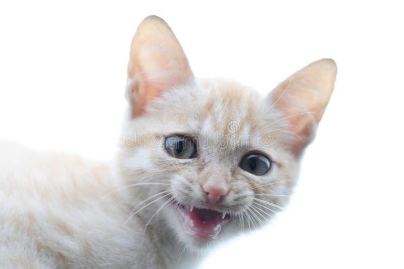 Imbirowego kota portreta drapieżczy meowing obraz royalty free