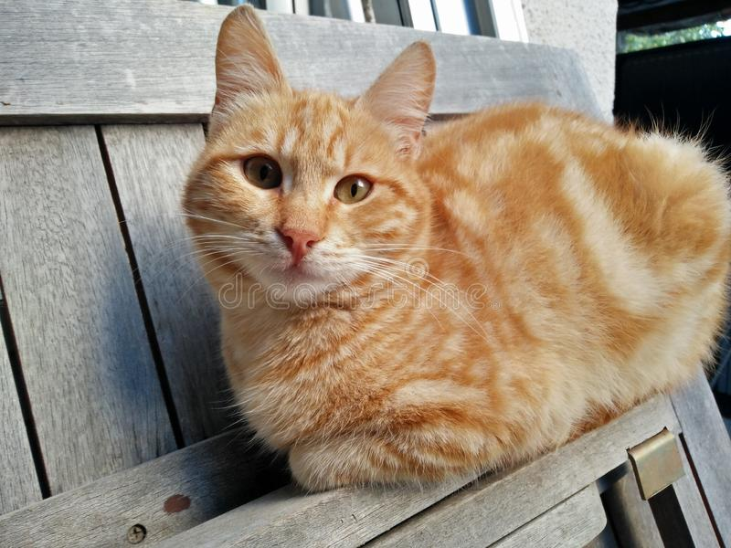 Imbirowy kot odpoczywa na drewnianym contraption fotografia royalty free