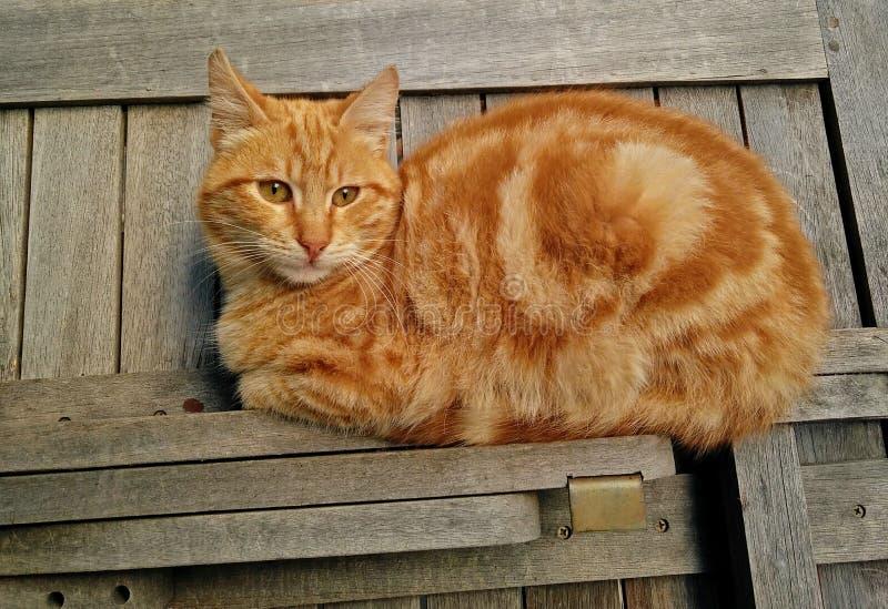 Imbirowy kot odpoczywa na drewnianym contraption obraz royalty free