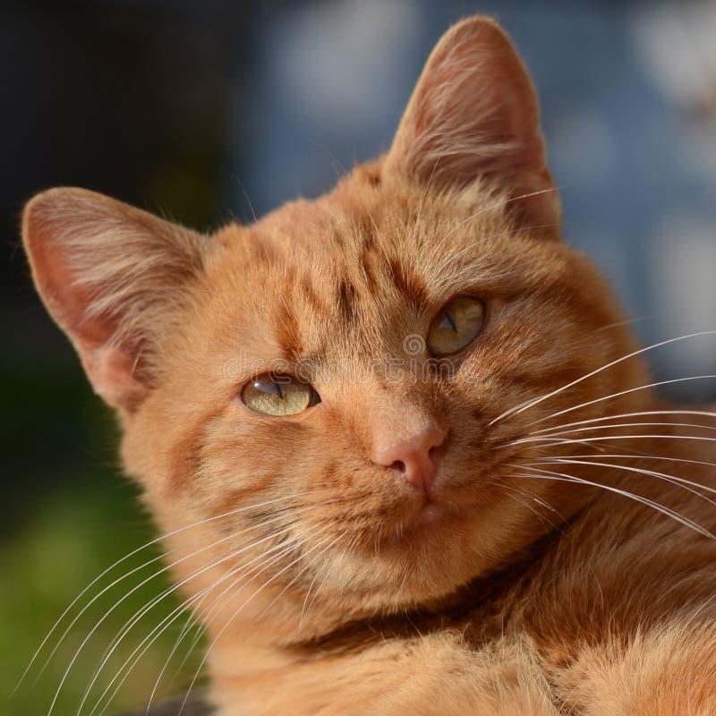 Imbirowy kot szczęśliwy 12 kot?w kuzia o portret senior y obrazy stock