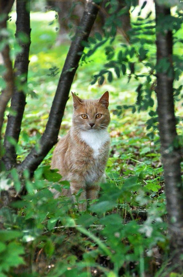 Imbirowy kot w lesie zdjęcie stock