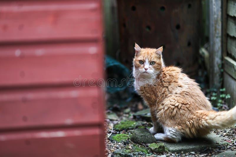 Imbirowy kot zaskakiwał puszek alleyway na Londyn zdjęcia royalty free
