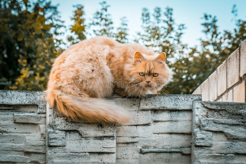 Imbirowy kota portret z poważnym gapieniem zdjęcia stock