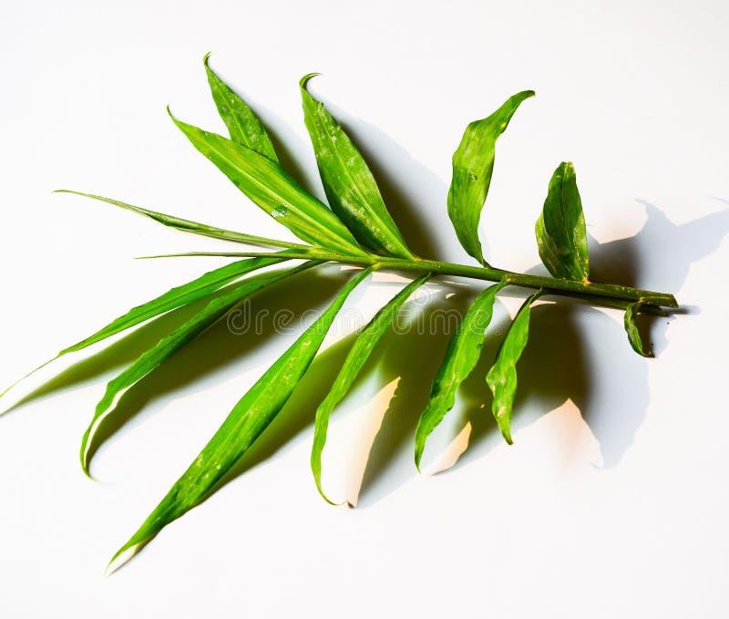 Imbirowy liść odizolowywający na białym tle obrazy royalty free
