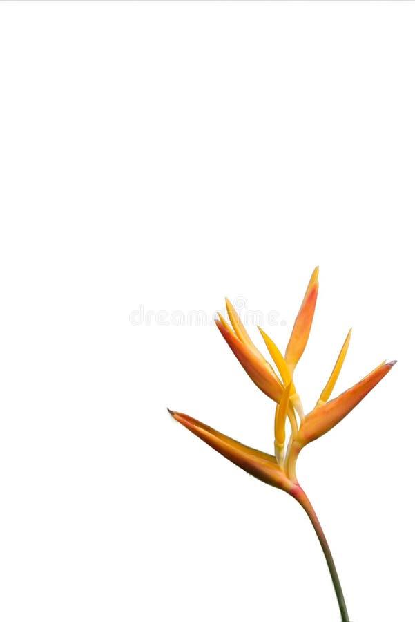 Imbirowy trzon Odizolowywający leluja kwiatu Niski dobro Biały tło obrazy royalty free