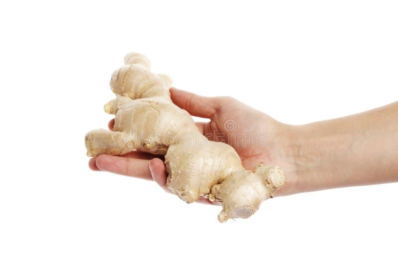 Imbiru korzeń w ręce odizolowywającej na białym tle zdjęcie royalty free