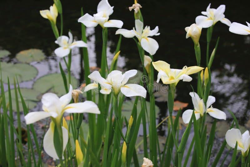 Imbiru lilyButterfly imbir, Motylia leluja, girlanda kwiat zdjęcie royalty free