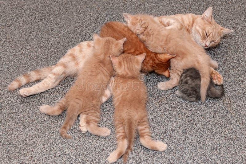 Imbiru macierzysty kot pielęgnuje jej dziecko figlarki fotografia royalty free