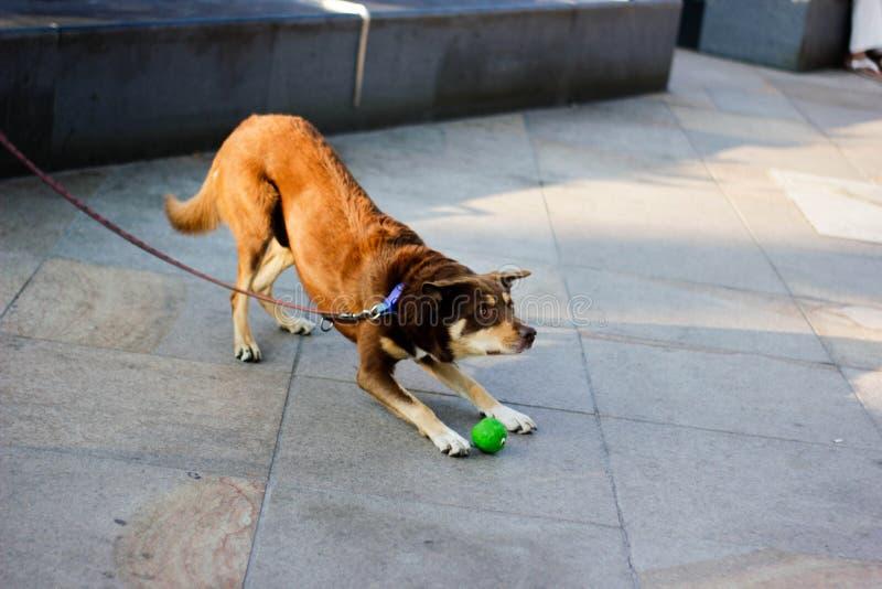Imbiru pies bawić się z piłkami i czeka jego mistrza zdjęcie stock