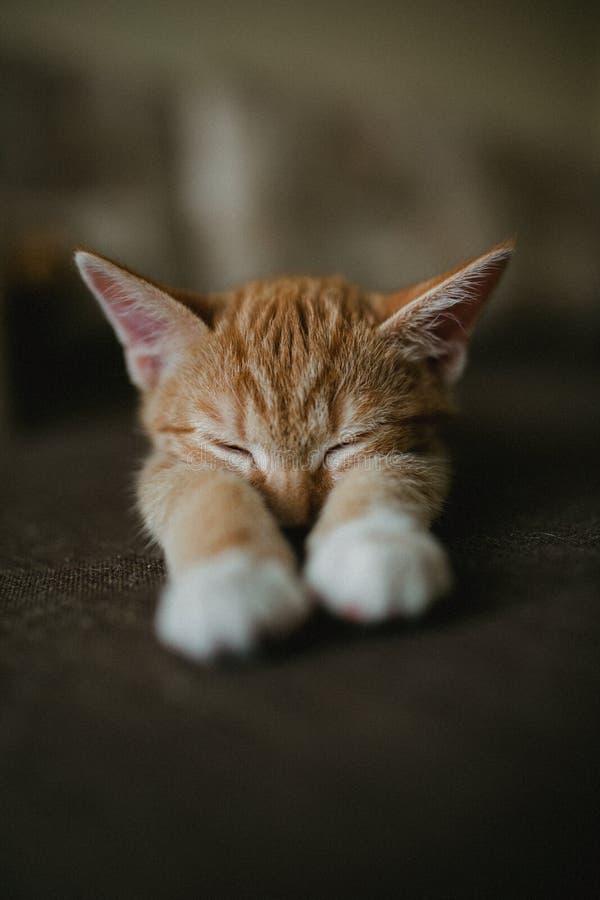 Imbiru trzy koloru kot kłama na łóżku i sen Ciepły tonowanie wizerunek Stylu życia zwierzęcia domowego pojęcie fotografia stock
