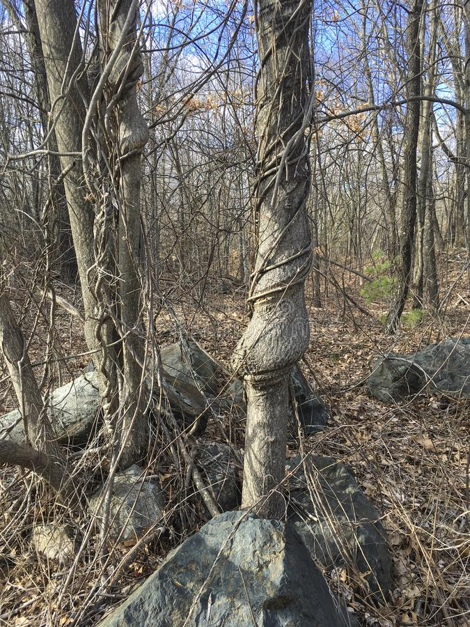 IMG_4176 Great Meadows. Trees with vines and rocks in wooded area in New England on sunny day stock image