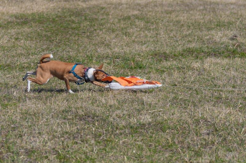 Imitación de cogida femenina de la presa del perro de Basenji mientras que hace cursar fotografía de archivo libre de regalías