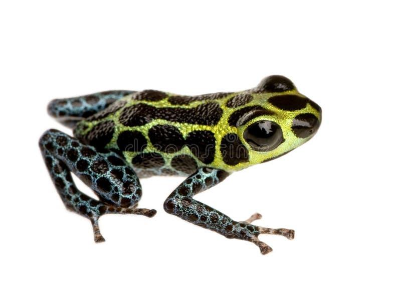 Imitant la grenouille de poison - imitateur de Ranitomeya photo stock