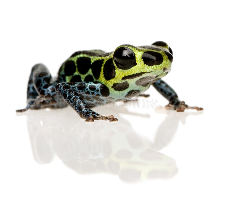 Imitant la grenouille de poison - imitateur de Ranitomeya photographie stock