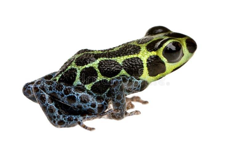 Imitant la grenouille de poison - imitateur de Ranitomeya image stock