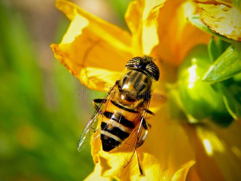 Imitateur d'abeille photo stock