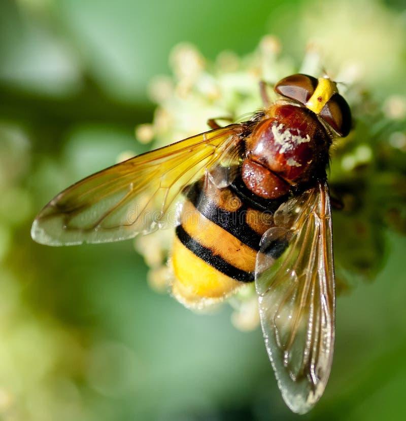 Imitateur de frelon hoverfly images libres de droits