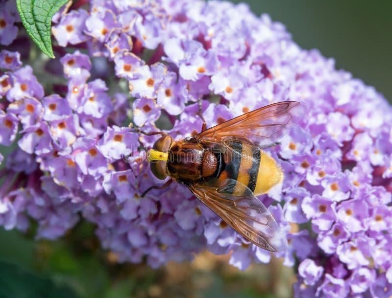 Imitateur de frelon hoverfly images stock