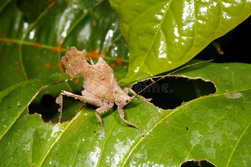 imitateur de lame de katydid photographie stock libre de droits
