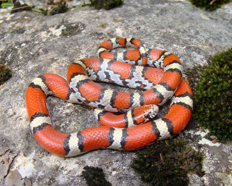 Imitateur de serpent de corail photos libres de droits