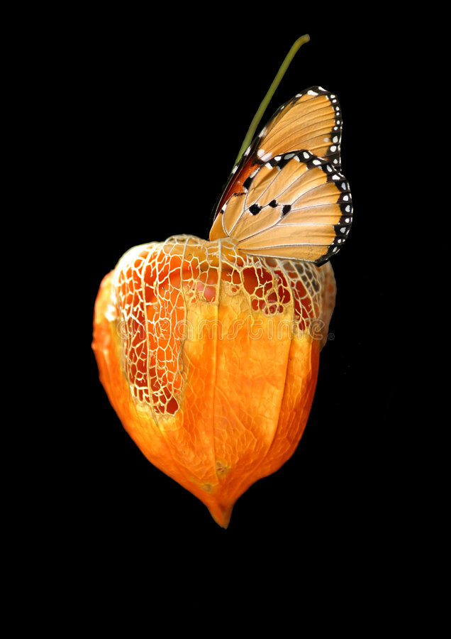 Imitation. A Danaus Chrysippus butterfly imitates a leaf on a ground cherry pod. Good conceptual image for trying to fit in, blend in, mimick, imitate, copy, etc