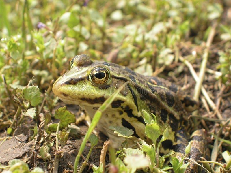 Download Imitation de grenouille photo stock. Image du étang, instruction - 725468