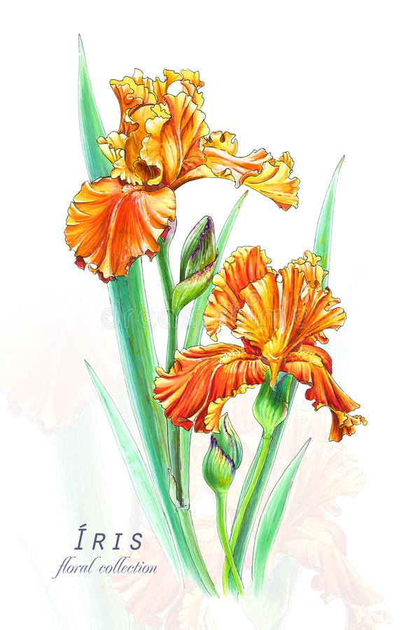 Download Botanical Illustration Postcard Card With Blossoming Orange Irises Flowers Stock